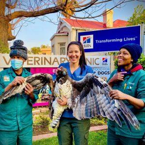 Kimberley Veterinary Clinic Martial Eagle